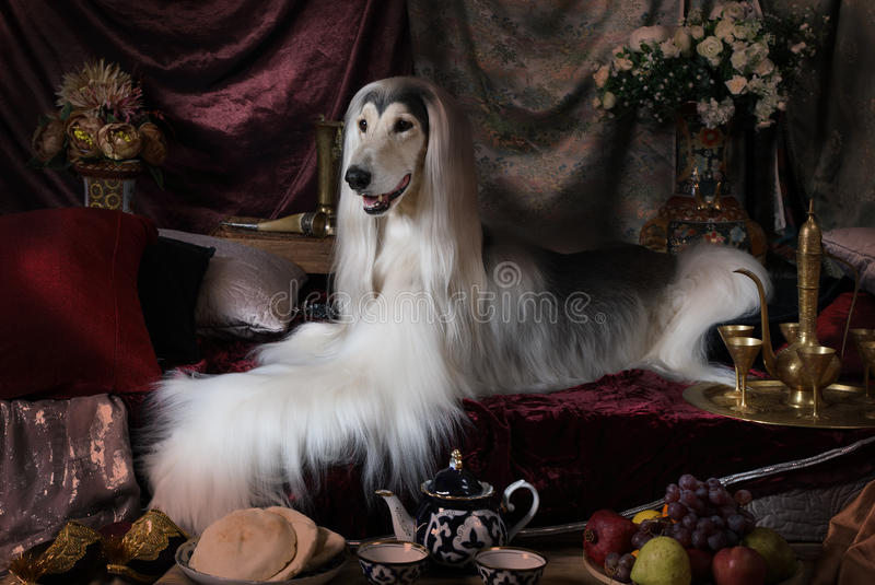 Afghan hound dog lying on the carpet. Purebred white Afghan hound dog lying on the carpet in the Arab style interior royalty free stock images