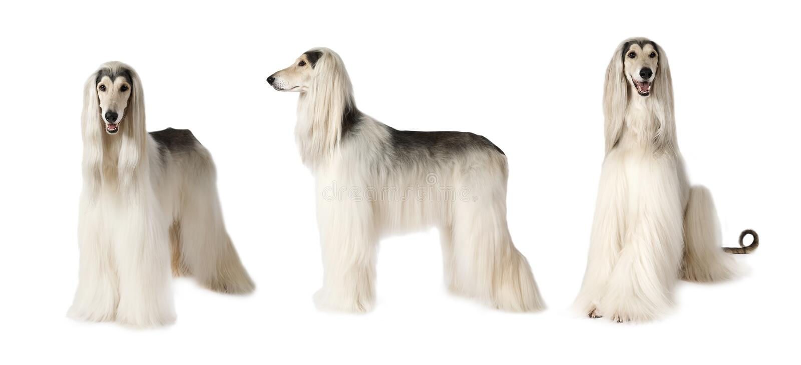 Afghan hound dog over white. Photo collage of white Afghan hound dog, studio shot on white background royalty free stock photography