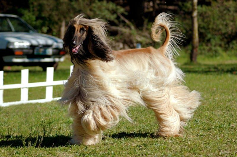 Afghan hound dog running stock photos