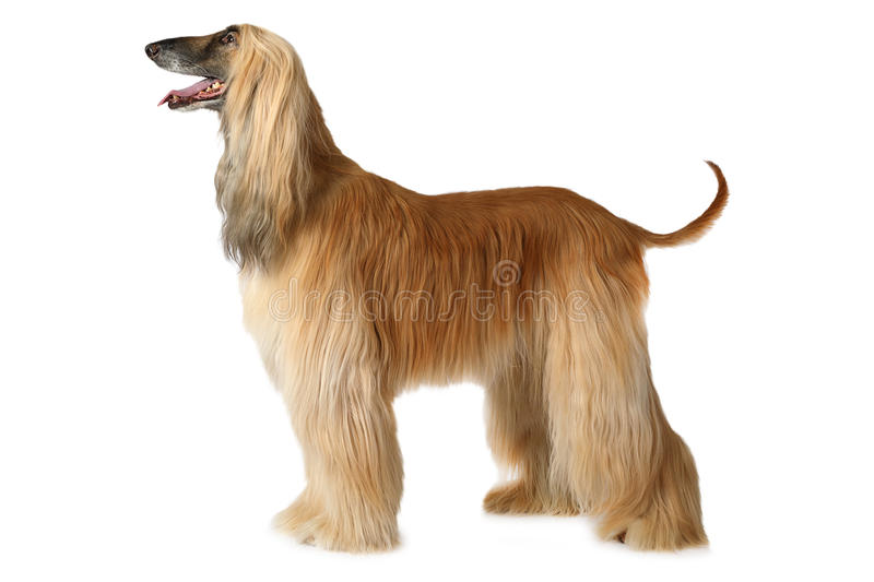 Afghan hound dog. Thoroughbred Afghan hound dog standing in show position isolated on white background royalty free stock images