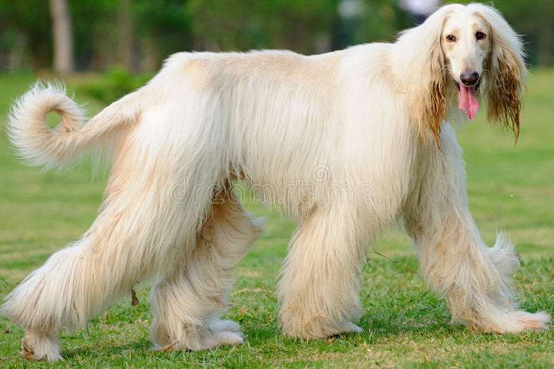 Afghan hound dog walking. An afghan hound dog walking on the lawn royalty free stock photos