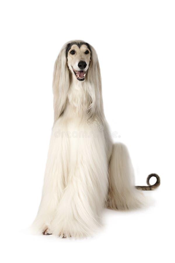 Afghan hound dog on white background. White Afghan hound dog eight years old sitting on white background royalty free stock image