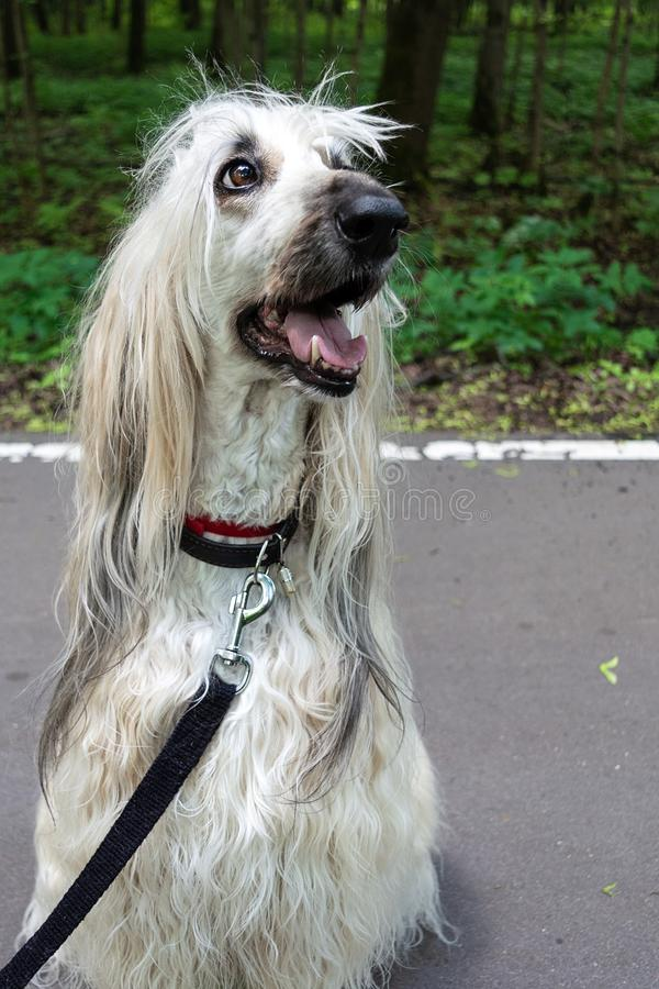 Smart Dog Afghan Hound With Ideal Data Stands In The Autumn