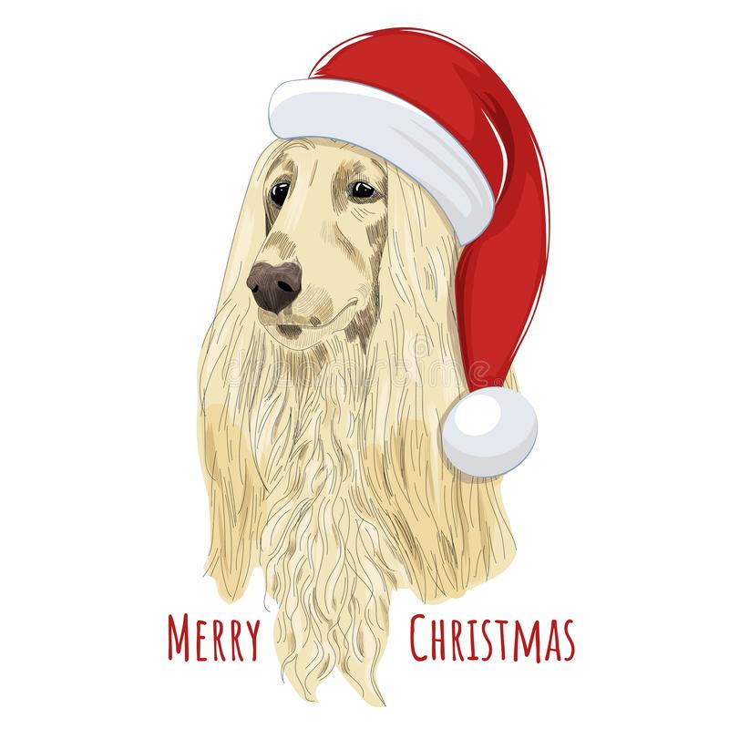 Afghan hound wears Christmas hat. royalty free stock photo