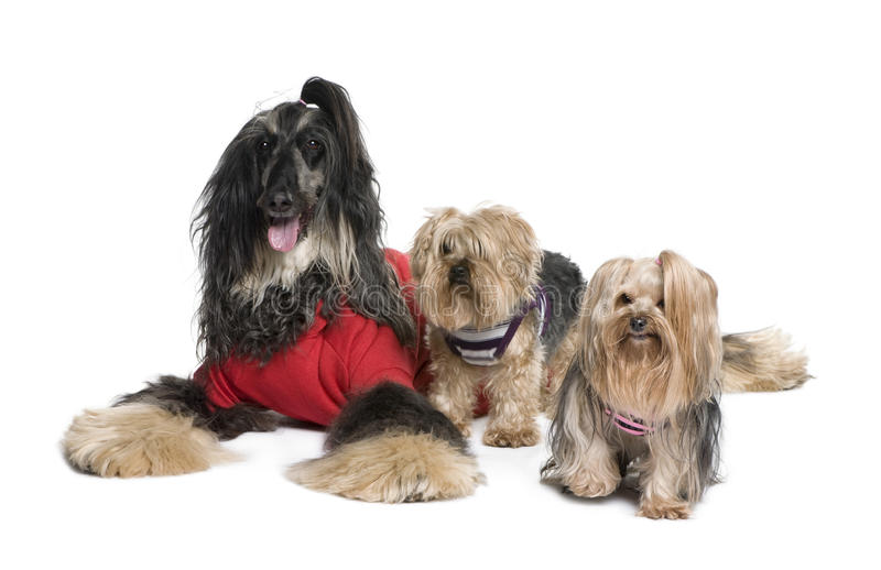 Afghan Hound and Yorkshire dogs stock images