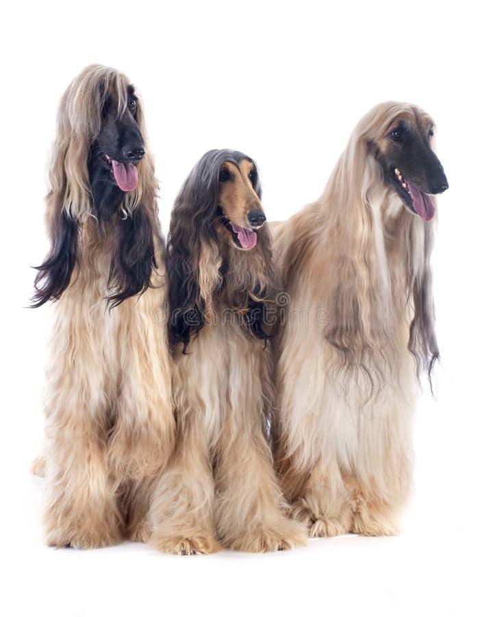 Afghanische Hunde lizenzfreies stockfoto