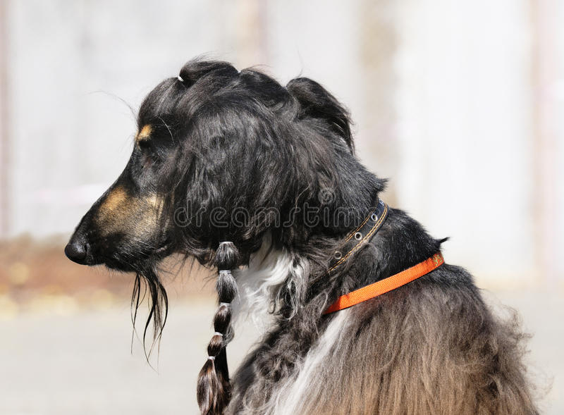 Afghanisches Hundeportrait stockfoto