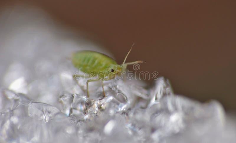 Afide su ghiaccio - macrofotografia - il Regno Unito fotografia stock libera da diritti