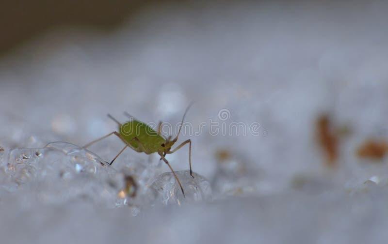 Afide su ghiaccio - macrofotografia - il Regno Unito fotografie stock