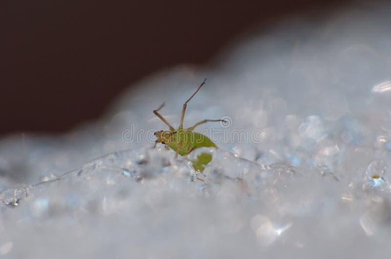 Afide su ghiaccio - macrofotografia - il Regno Unito immagine stock libera da diritti