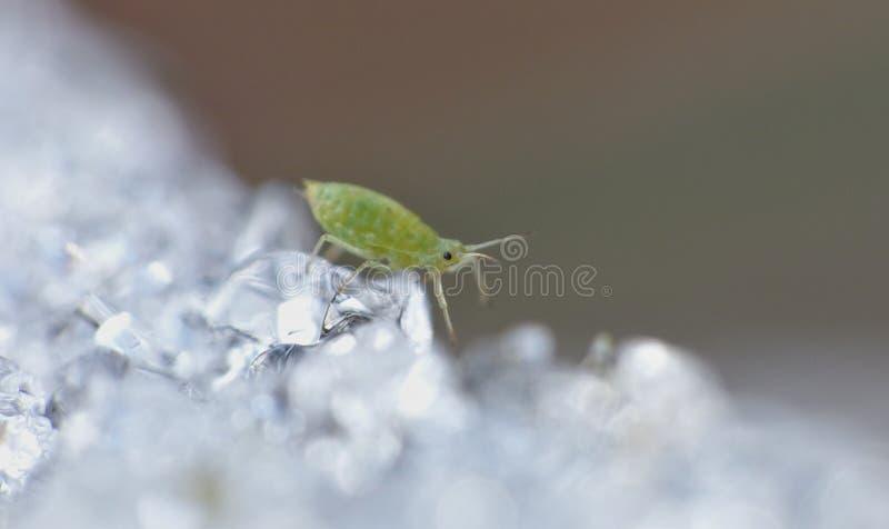 Afide su ghiaccio - macrofotografia - il Regno Unito immagini stock