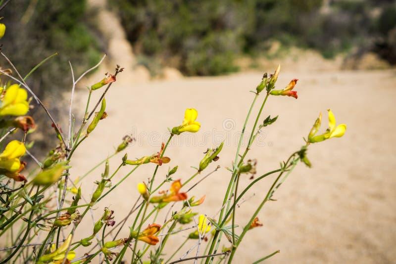 Afids på blommor för Strigose lotusblommaAcmispon strigosus i Joshua Tree National Park, Kalifornien arkivbild