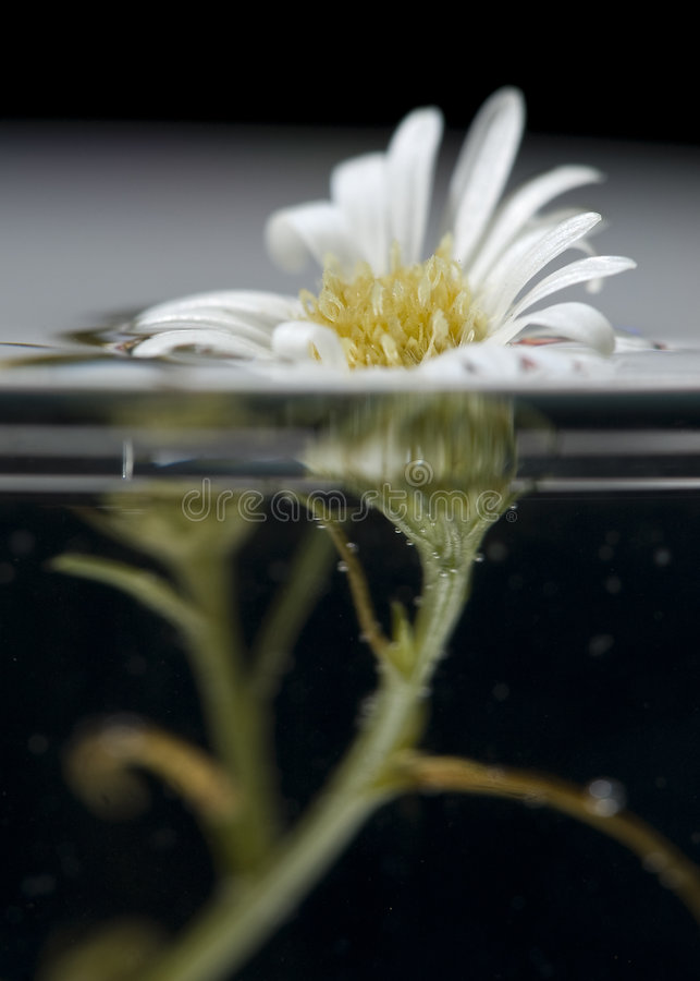 Afloat. A macro shot of a small flower that was put inside a transparent vase which is full of water royalty free stock photo