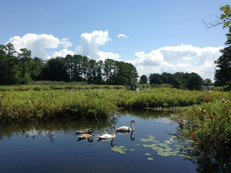 Afloat on a midsummer's day. Waterfowl afloat, with summer bloom and lily pads, on a background of blue sky and white pillowy clouds royalty free stock images