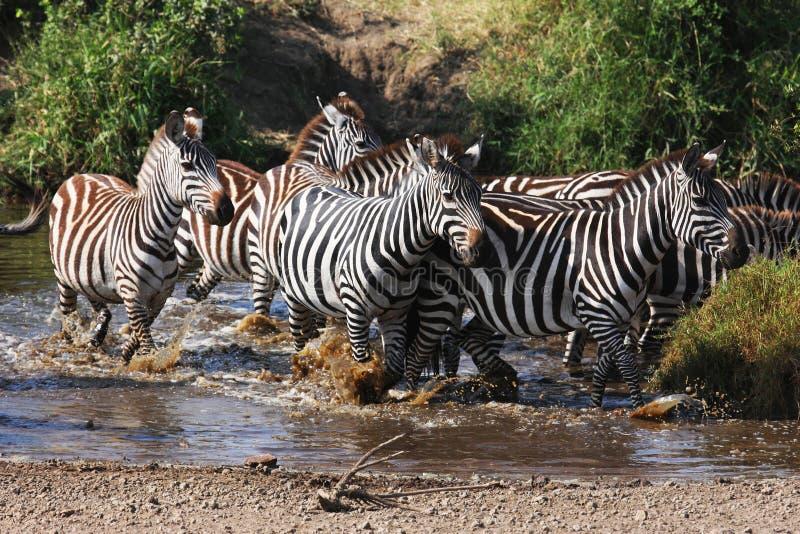 Afraid zebras crossing the river stock photos