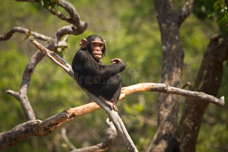 Africa. Young Wild chimpanzee , Zambia Africa royalty free stock images