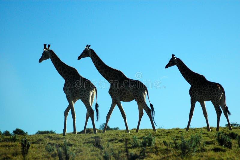 Africa stock photos