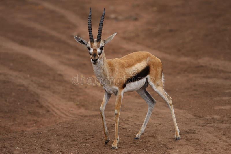 Download Africa antelope in savana stock photo. Image of flayer - 6746548