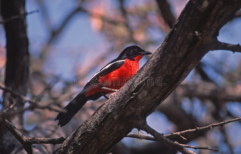 Africa Bird-Crimson Breasted Shrike Royalty Free Stock Photos