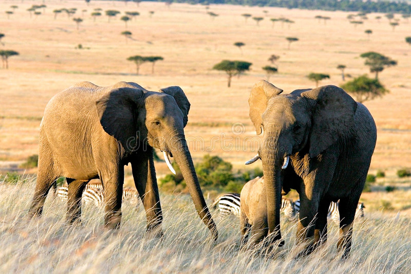Download Africa elefanter två arkivfoto. Bild av elefant, trees, djurliv - 43542