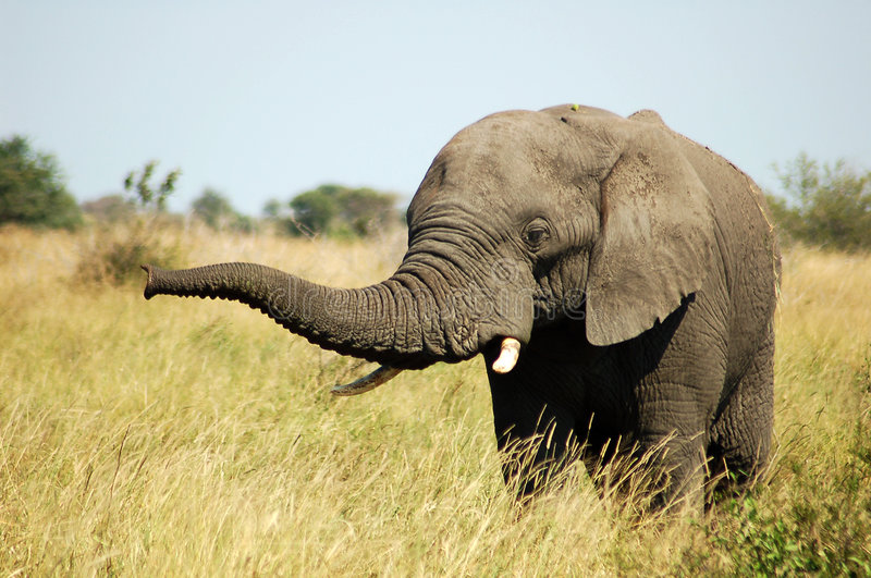 Download Africa Elephant Royalty Free Stock Image - Image: 3655076