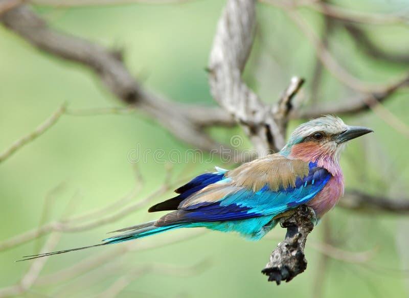 africa fåglar lilacbreasted rullen arkivbilder