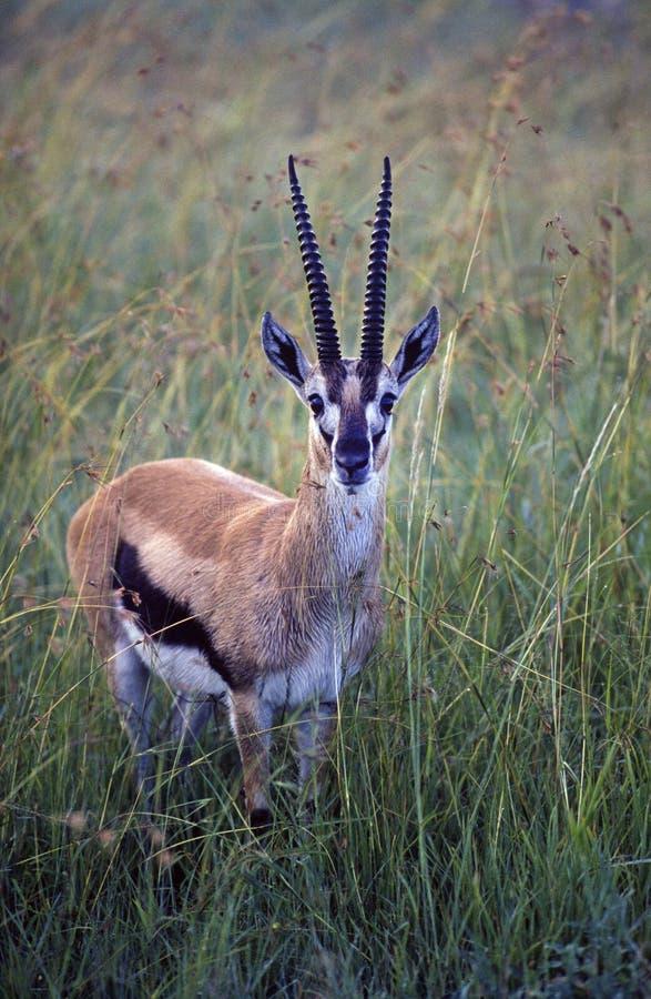 africa gazela s Thompson obrazy stock