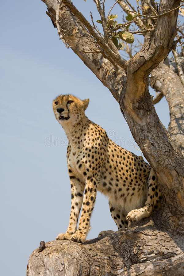 africa geparda drzewo obraz stock