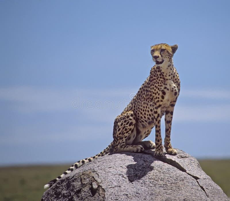 Africa-Ghepardo fotografia stock libera da diritti
