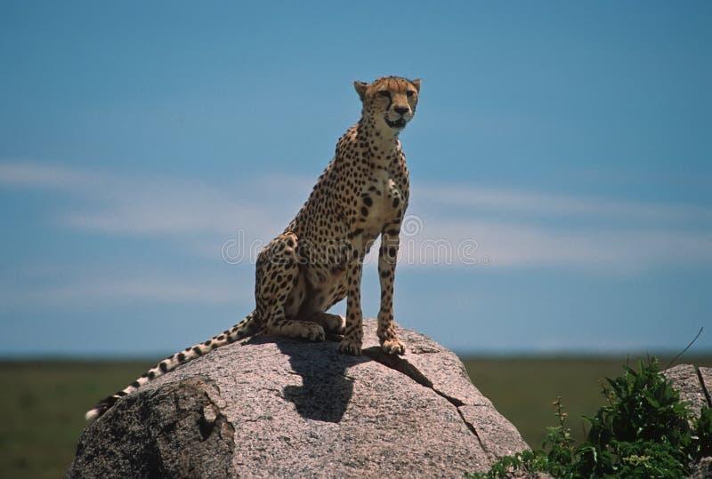 Africa-ghepardo immagini stock libere da diritti