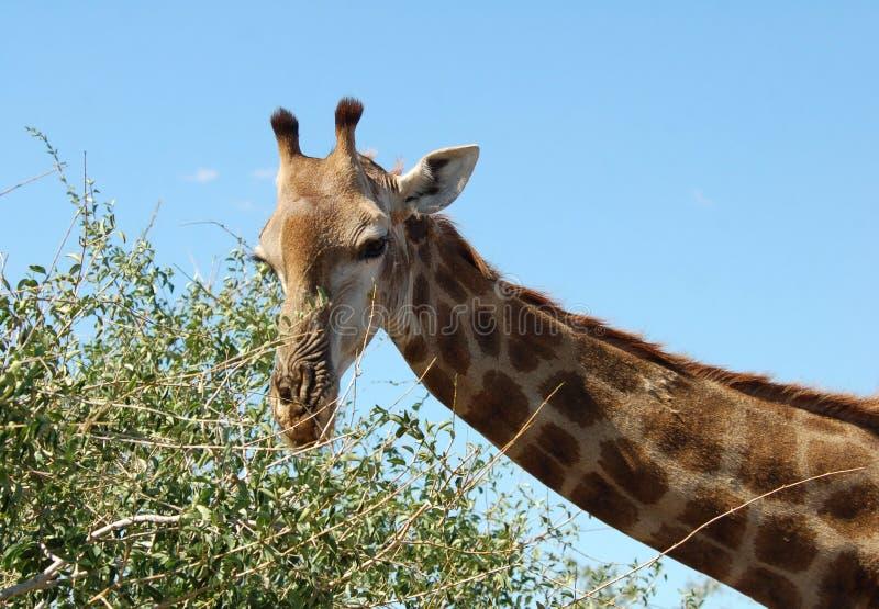 africa giraff arkivbild