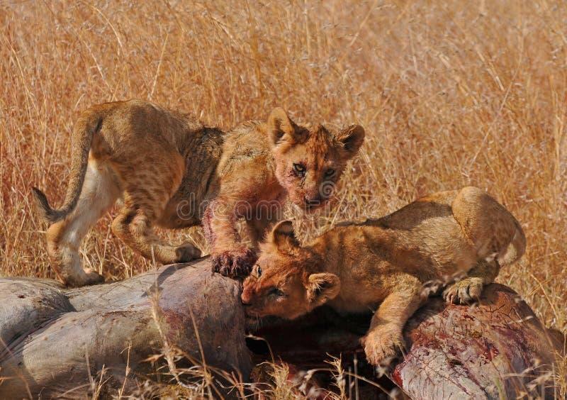 africa gröngölingar som matar lionserengetien tanzania arkivbilder