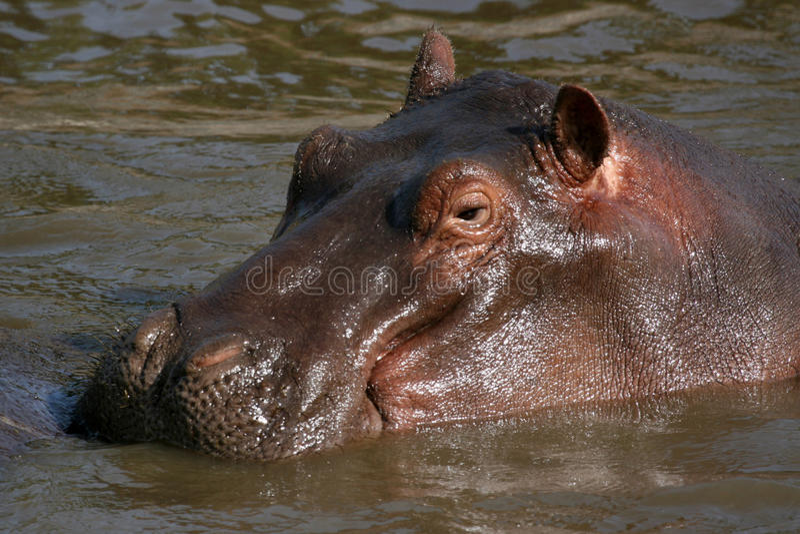 africa hipopotamy fotografia royalty free