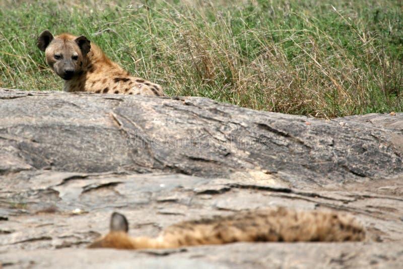 africa hyenaserengeti fotografering för bildbyråer