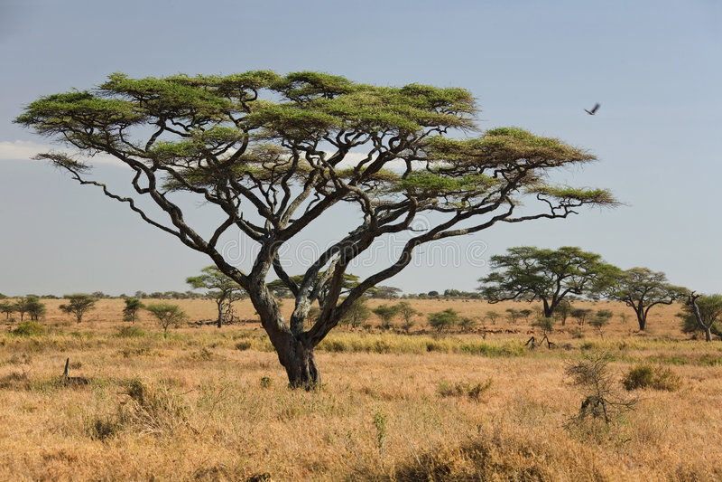 Africa landscape 027 serengeti royalty free stock photos