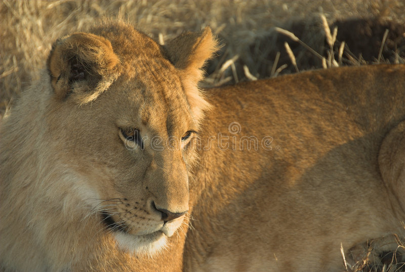Africa Lion (Panthera leo) royalty free stock photos