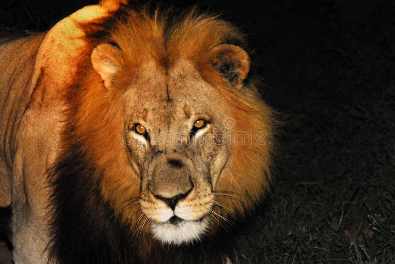 Africa- Male Lion Close Up in the Spot Light on Night Safari royalty free stock photography