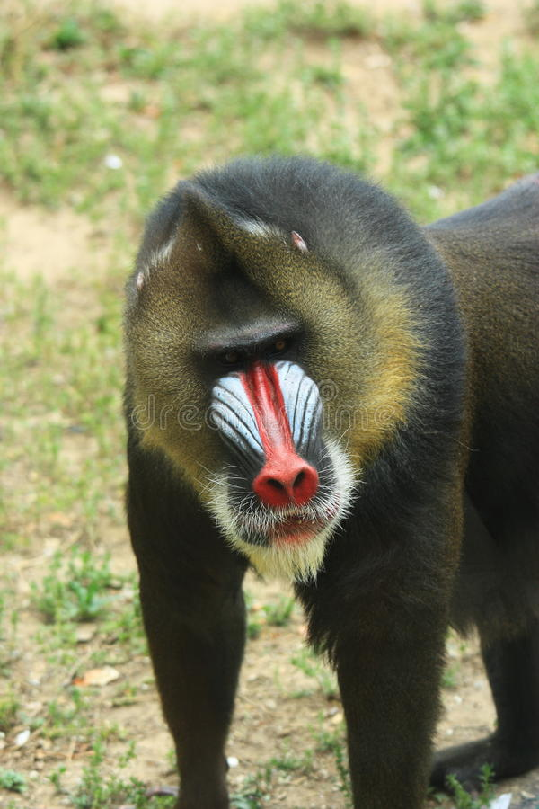 Africa mandril royalty free stock photography