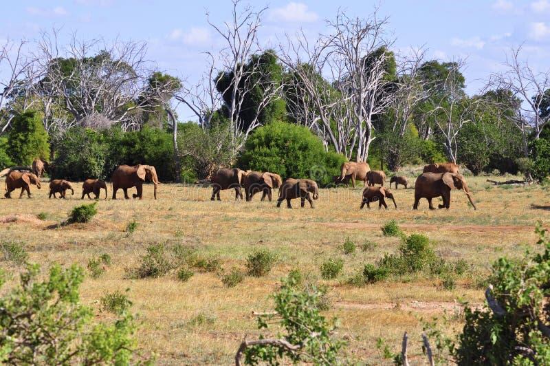 africa słonie fotografia royalty free