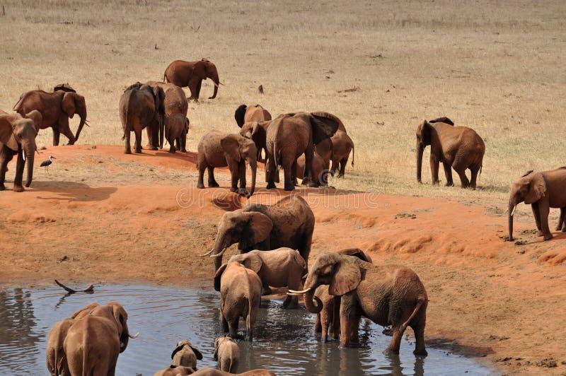 africa słonie zdjęcie stock