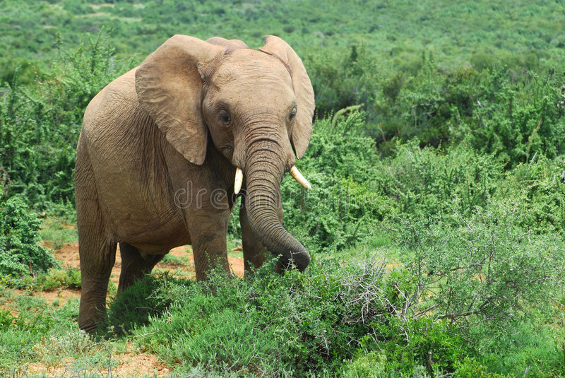 Africa's wildlife royalty free stock photography