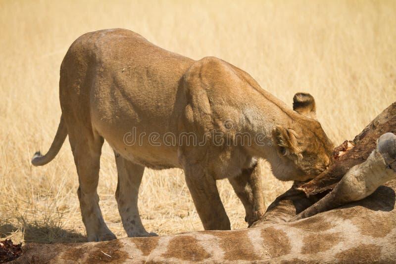 africa safari royaltyfria foton