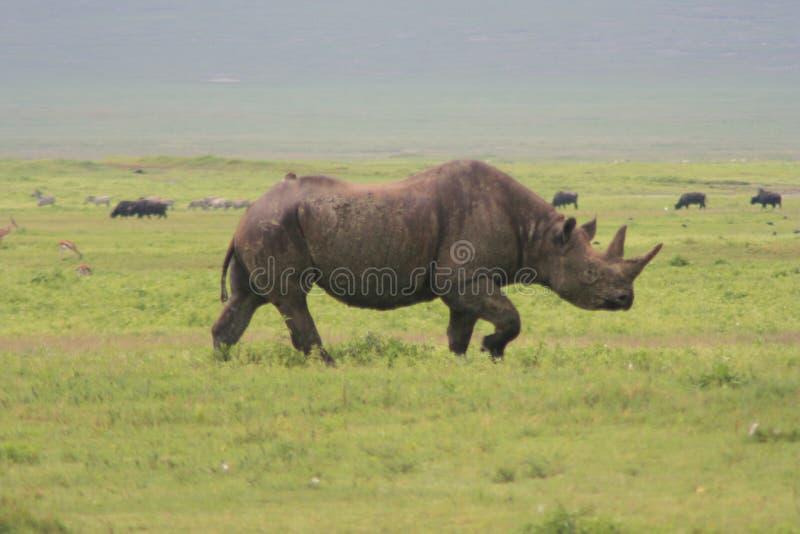 Africa, Tanzania, Big Rhinoceros Stock Image
