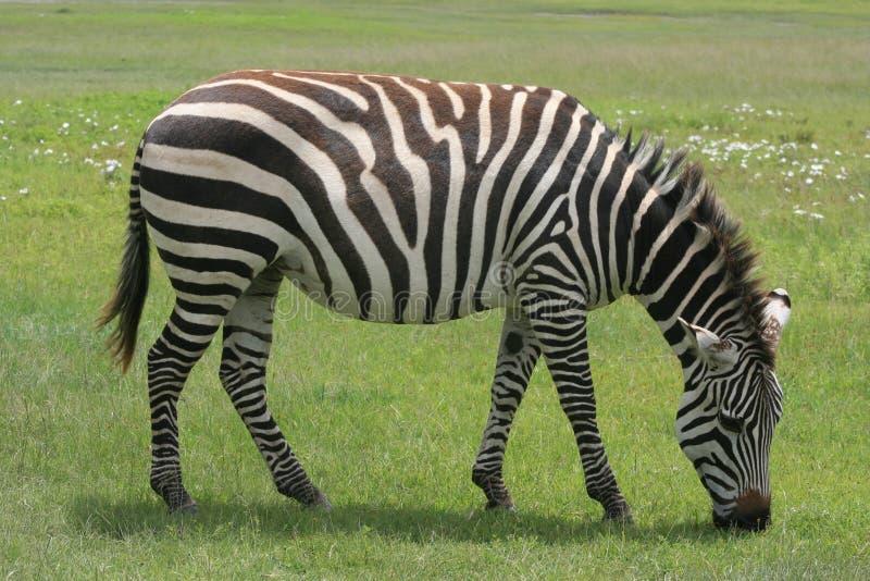 Africa Tanzania close up zebra. Africa Tanzania close-up zebra on the reserve stock image