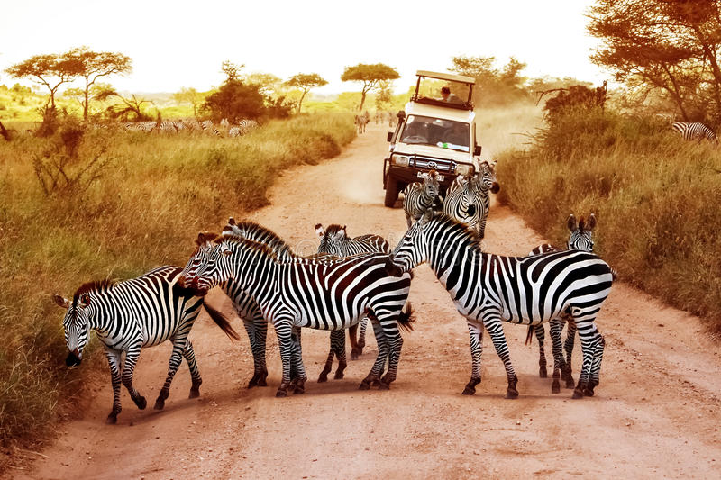 Africa, Tanzania, Serengeti - February 2016: Zebras on the road in Serengeti national park in front of the jeep with tourist. S stock images