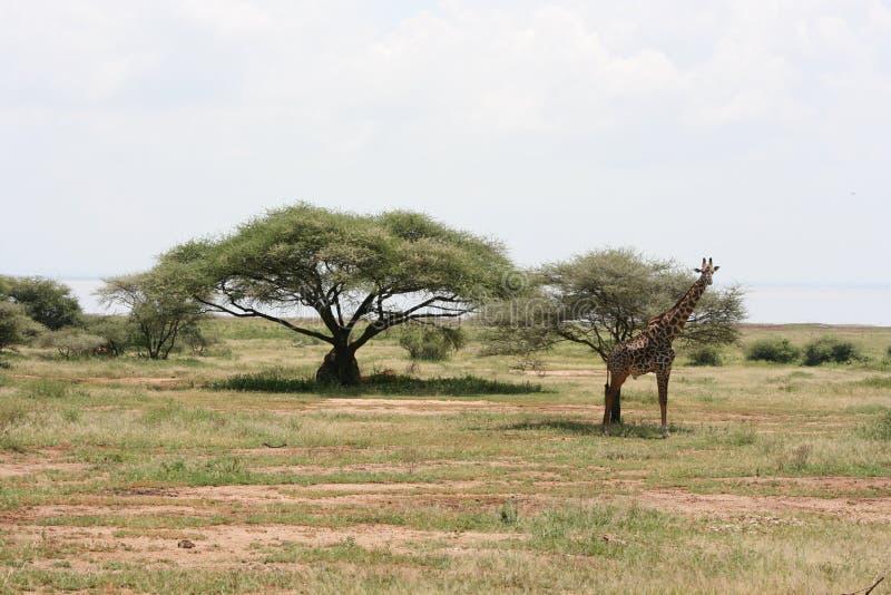 Download Africa,Tarangire Reserve,giraffe Royalty Free Stock Images - Image: 14110789