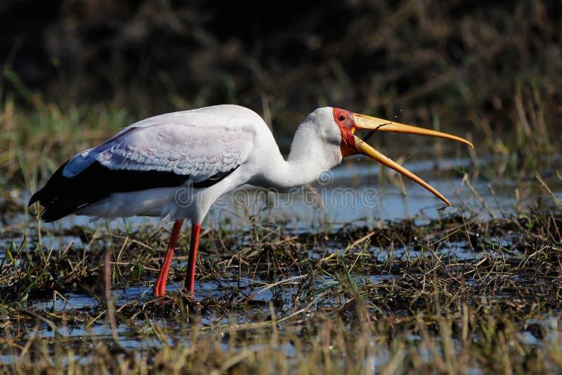 Africa wild bird coming to land. African wild bird in Botswana Chobe National Park royalty free stock photo