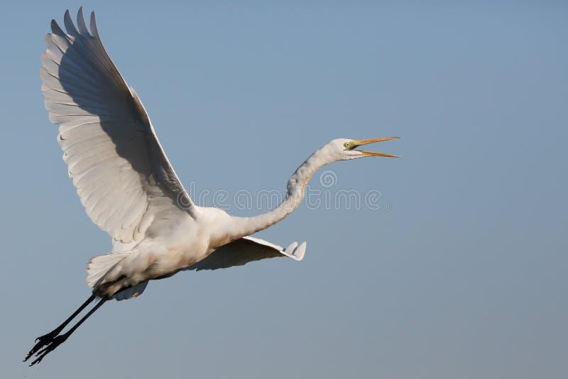 Africa wild life bird in flight stock photography