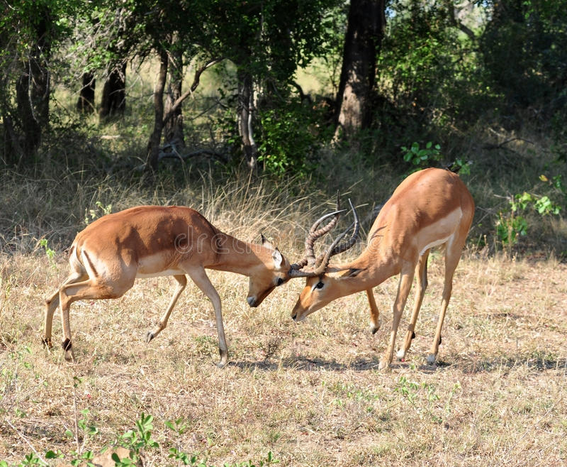 Download Africa Wildlife: Impala Fight Stock Image - Image of safari, outdoor: 15020777