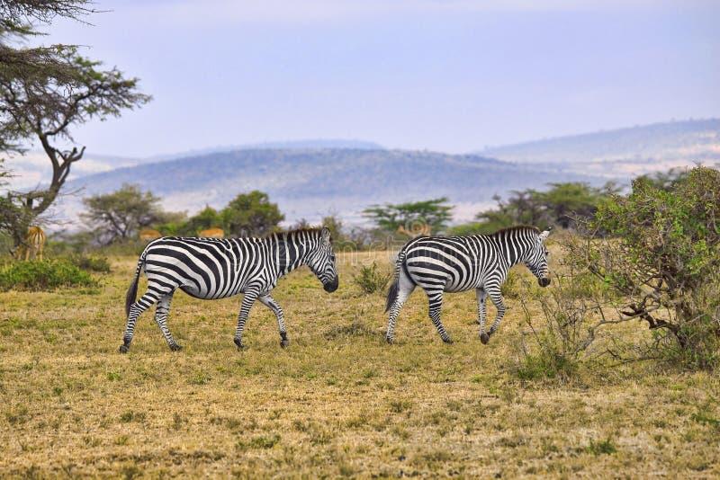 africa zebry obraz royalty free